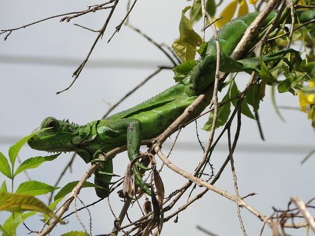 leguán zelený na větvi