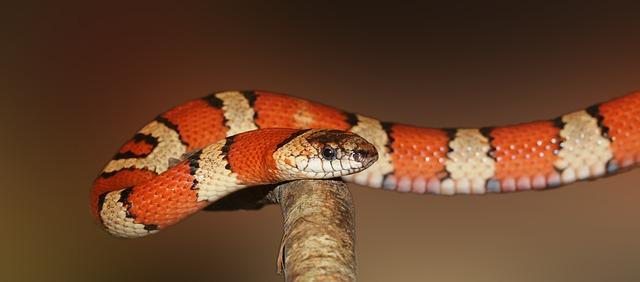 oranžový had